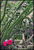 Occatillo and beavertail cactus in bloom. Big Bend National Park, Texas, USA. (color)