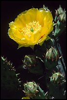 Pickly pear cactus flower. Big Bend National Park ( color)