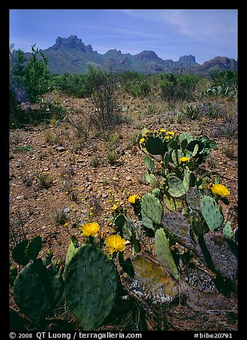 Cactus with yellow blooms and Chisos Mountains. Big Bend National Park (color)