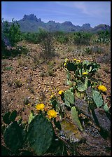 Cactus with yellow blooms and Chisos Mountains. Big Bend National Park, Texas, USA.