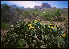Yellow prickly pear cactus in bloom and Chisos Mountains. Big Bend National Park ( color)