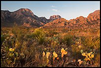 Cacti and Chisos Mountains at sunrise. Big Bend National Park, Texas, USA. (color)
