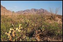 Desert vegetation and Chisos Mountains. Big Bend National Park, Texas, USA. (color)