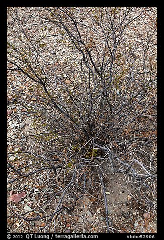 Creosote bush, most drought tolerant perennial in North America. Big Bend National Park (color)