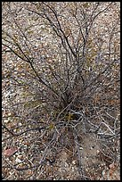 Creosote bush, most drought tolerant perennial in North America. Big Bend National Park ( color)