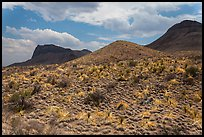 Desicatted desert plants. Big Bend National Park ( color)