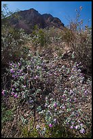 Siverleaf with purple flowers. Big Bend National Park ( color)