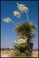 Yucca in bloom. Big Bend National Park, Texas, USA. (color)