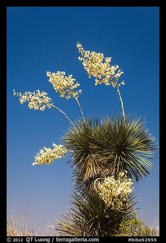 Blooming yucca. Big Bend National Park, Texas, USA.