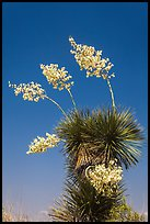 Blooming yucca. Big Bend National Park, Texas, USA. (color)