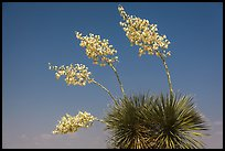 Cluster of yucca blooms. Big Bend National Park, Texas, USA. (color)