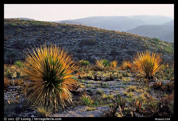 Yuccas at sunset on limestone bedrock. Carlsbad Caverns National Park (color)