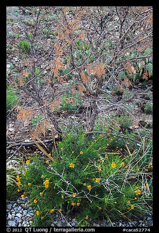 Wildflowers and shrubs. Carlsbad Caverns National Park (color)