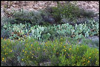 Wildflowers, prickly pear cactus, and rock wall. Carlsbad Caverns National Park ( color)