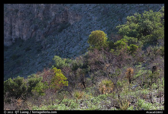Desert shrubs and trees, Walnut Canyon. Carlsbad Caverns National Park (color)