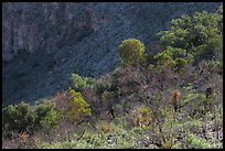 Desert shrubs and trees, Walnut Canyon. Carlsbad Caverns National Park ( color)