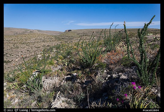 Chihuahan Desert landscape with ocotillos. Carlsbad Caverns National Park (color)