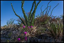 Flowering cactus and  ocotillos. Carlsbad Caverns National Park, New Mexico, USA. (color)