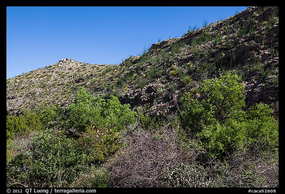 Green trees and shurbs below desert slopes. Carlsbad Caverns National Park (color)