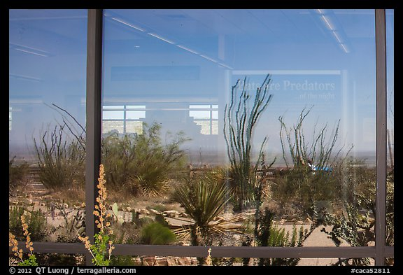 Ocotillos, yuccas and cactus, visitor center window reflexion. Carlsbad Caverns National Park (color)