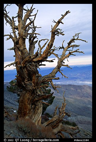 Bristlecone Pine tree near Telescope Peak. Death Valley National Park (color)