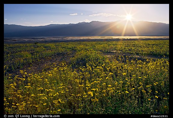 Desert wildflowers and sun, late afternoon. Death Valley National Park, California, USA.