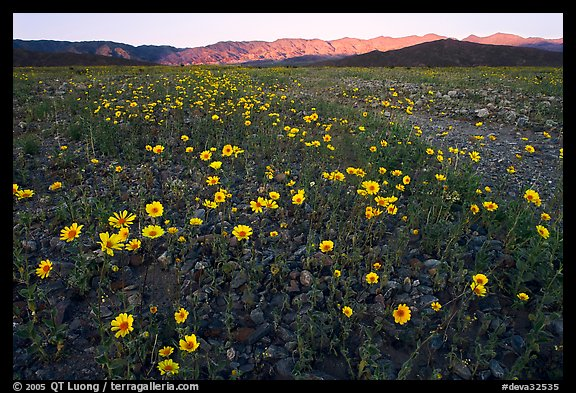 Desert Gold flowers and mountains, sunset. Death Valley National Park (color)