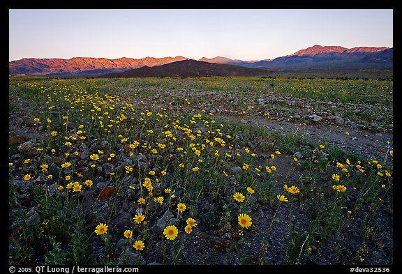 Rare desert wildflower bloom and mountains, sunset. Death Valley National Park (color)