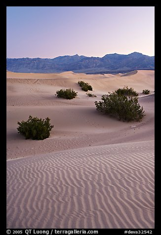 Ripples, mesquite on sand dunes, dawn. Death Valley National Park (color)