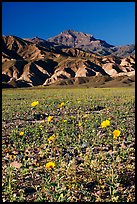 Desert Gold in bloom on flats bellow the Armagosa Mountains, late afternoon. Death Valley National Park, California, USA.