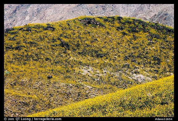 Hills covered with rare carpet of yellow wildflowers. Death Valley National Park, California, USA.