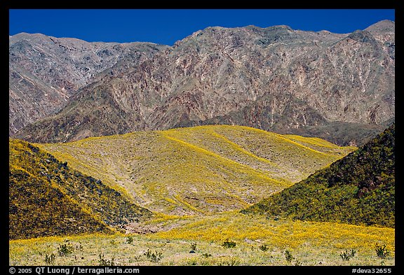 Hills covered with yellow blooms and Smith Mountains, morning. Death Valley National Park (color)
