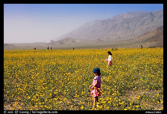 Children in a carpet of Desert Gold near Ashford Mill. Death Valley National Park (color)