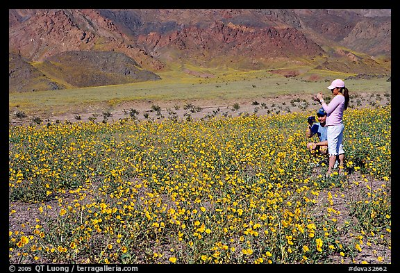 Couple videotaping and photographing in a field of Desert Gold near Ashford Mill. Death Valley National Park, California, USA.