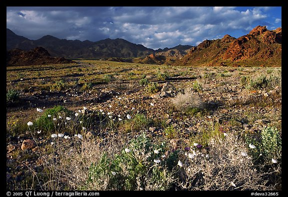 Gravel Ghost wildflowers and Black Mountains below Jubilee Pass, late afternoon. Death Valley National Park (color)