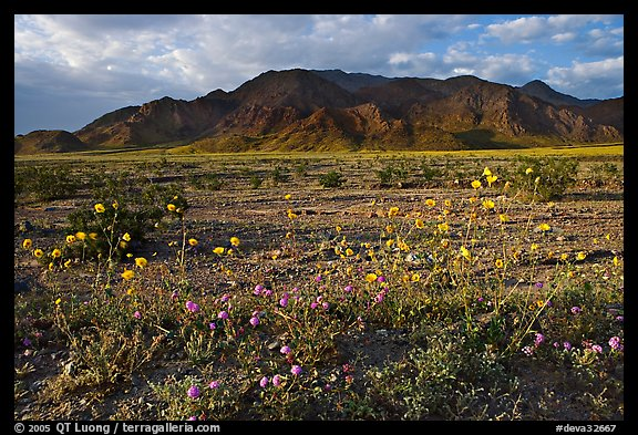 Wildflowers and Black Mountains below Jubilee Pass, late afternoon. Death Valley National Park, California, USA.