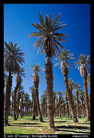 Date Palms in Furnace Creek Oasis. Death Valley National Park (color)