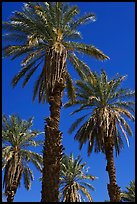 Date palm trees in Furnace Creek Oasis. Death Valley National Park, California, USA. (color)