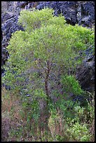 Cottonwood in spring and canyon walls. Death Valley National Park ( color)