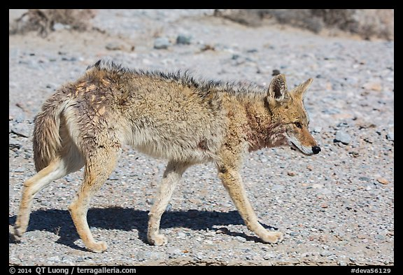Coyote walking. Death Valley National Park (color)