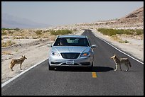 Habituated coyotes standing on road next to car. Death Valley National Park ( color)