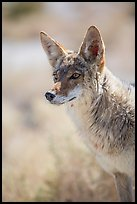 Coyote portrait. Death Valley National Park ( color)