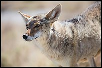 Coyote. Death Valley National Park ( color)