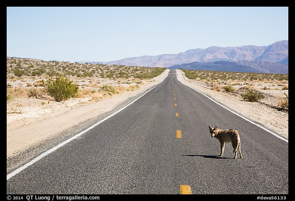 Coyote standing on desert road. Death Valley National Park (color)
