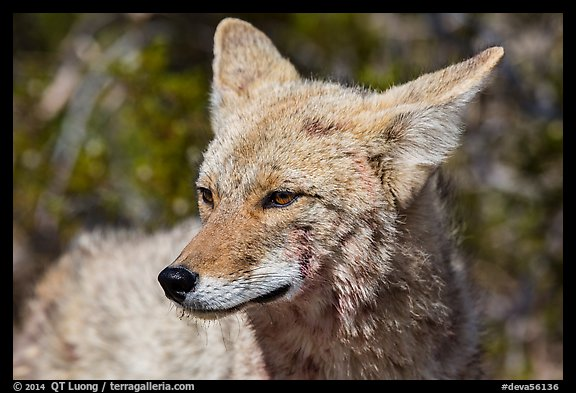 Close-up of coyote. Death Valley National Park (color)