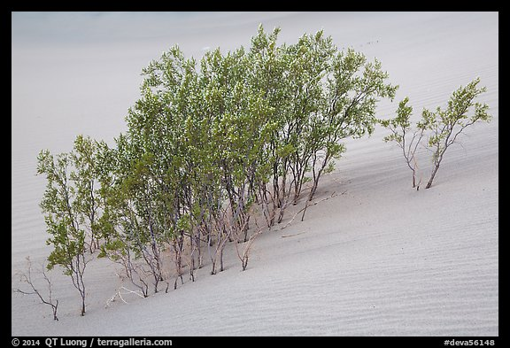 Mesquite growing in sand. Death Valley National Park (color)