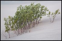 Mesquite growing in sand. Death Valley National Park ( color)