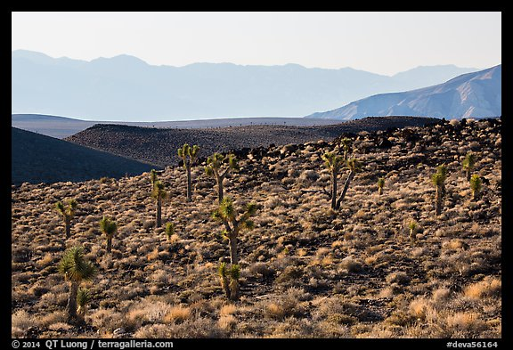 High desert environment with Joshua Trees. Death Valley National Park (color)