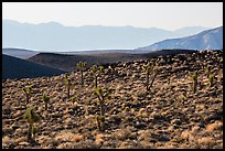 High desert environment with Joshua Trees. Death Valley National Park ( color)