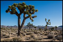 Joshua trees, Lee Flat. Death Valley National Park ( color)